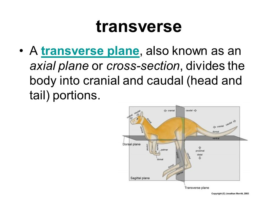 transverse A transverse plane, also known as an axial plane or cross-section, divides the body into cranial and caudal (head and tail) portions.