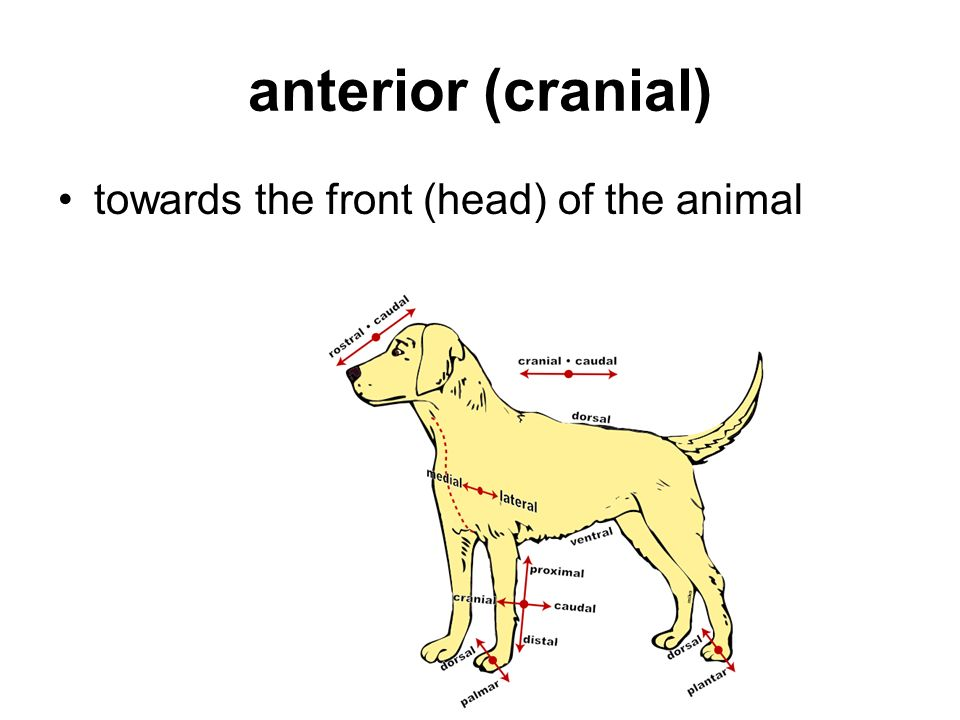 anterior (cranial) towards the front (head) of the animal