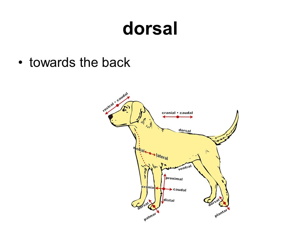 dorsal towards the back