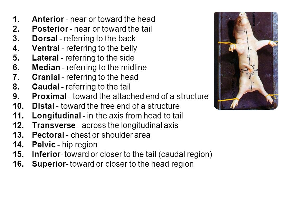 Anterior - near or toward the head