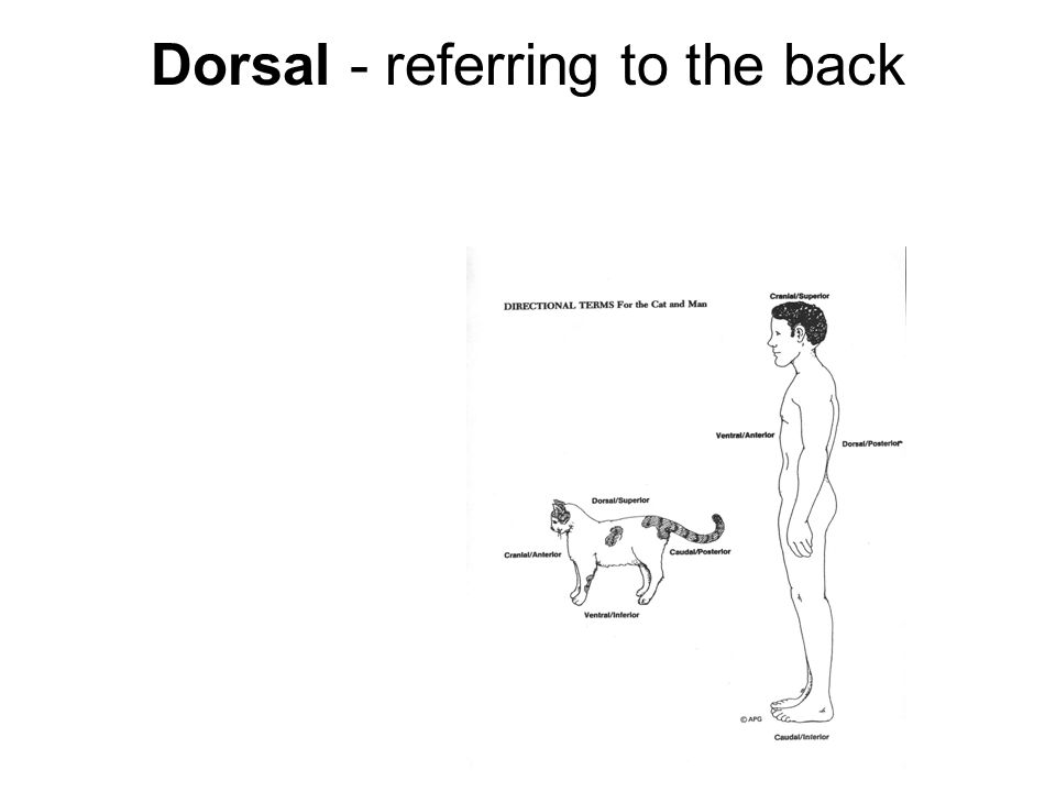 Dorsal - referring to the back