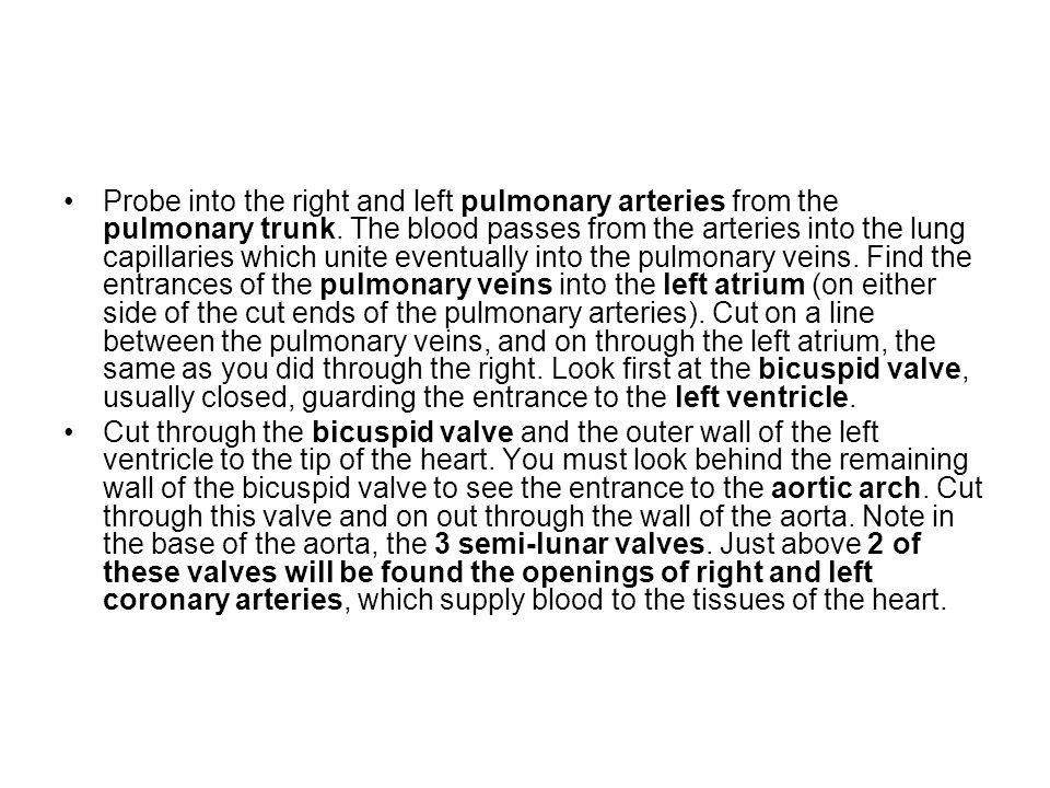 Probe into the right and left pulmonary arteries from the pulmonary trunk. The blood passes from the arteries into the lung capillaries which unite eventually into the pulmonary veins. Find the entrances of the pulmonary veins into the left atrium (on either side of the cut ends of the pulmonary arteries). Cut on a line between the pulmonary veins, and on through the left atrium, the same as you did through the right. Look first at the bicuspid valve, usually closed, guarding the entrance to the left ventricle.