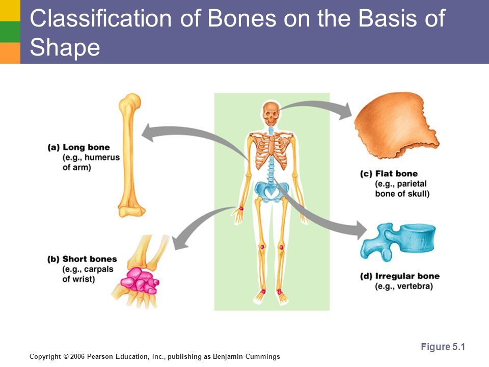 Classification of Bones on the Basis of Shape