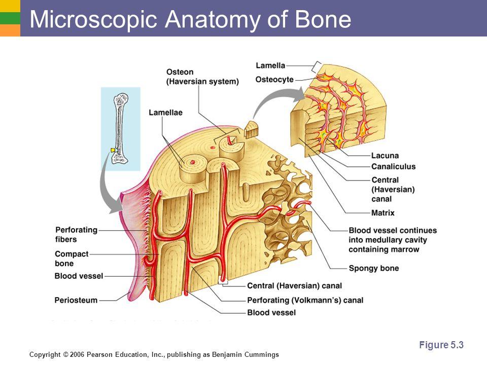 Microscopic Anatomy of Bone
