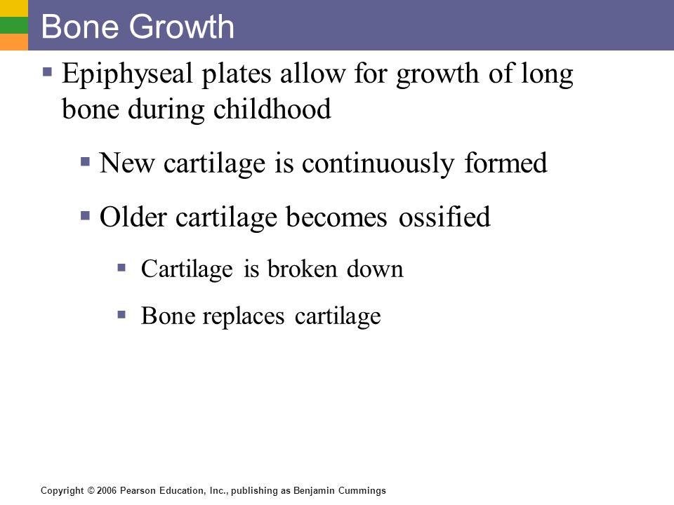 Bone Growth Epiphyseal plates allow for growth of long bone during childhood. New cartilage is continuously formed.