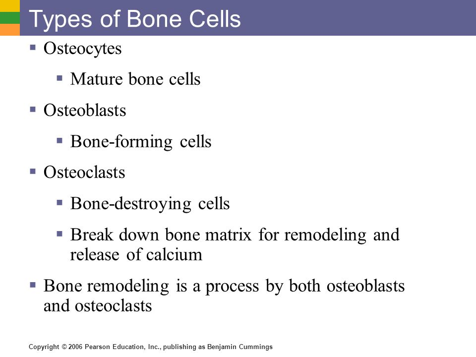 Types of Bone Cells Osteocytes Mature bone cells Osteoblasts