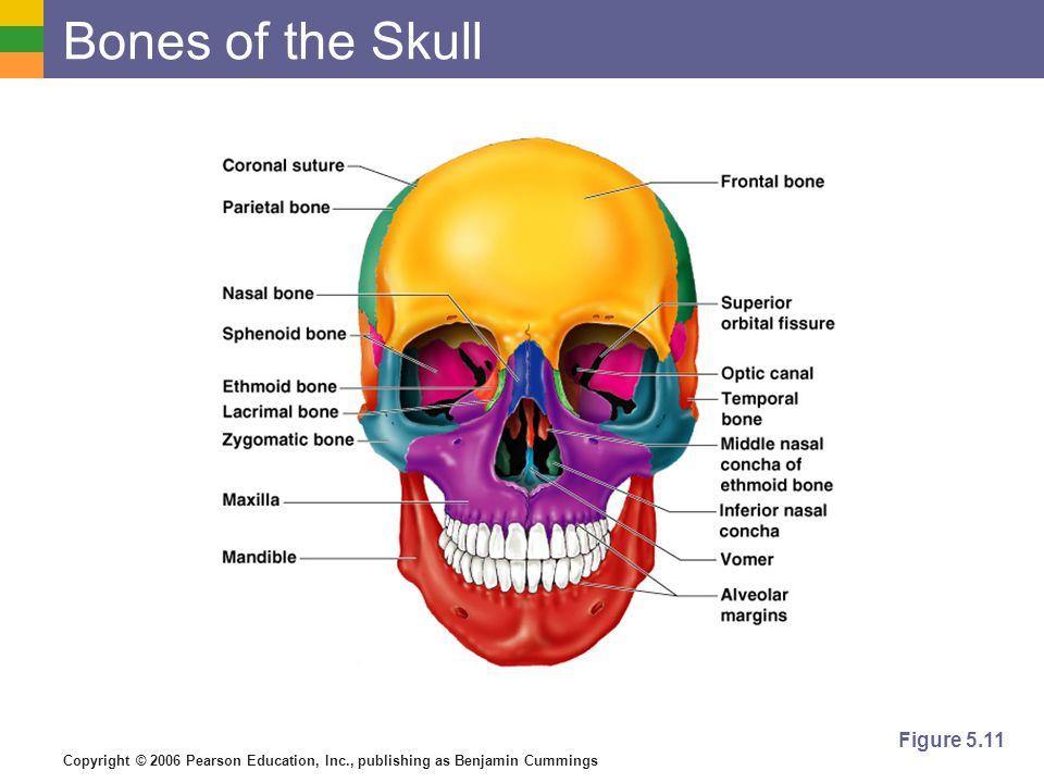 Bones of the Skull Figure 5.11