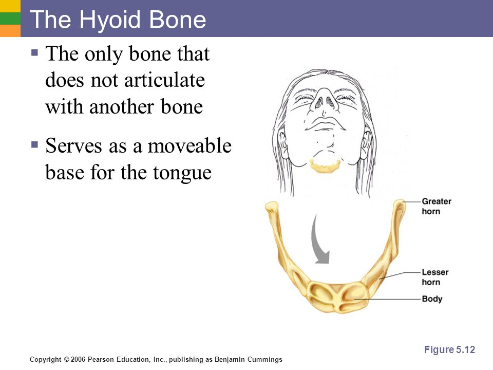 The Hyoid Bone The only bone that does not articulate with another bone. Serves as a moveable base for the tongue.