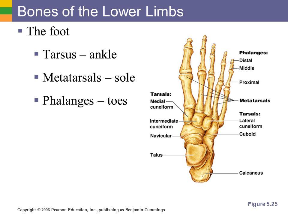 Bones of the Lower Limbs