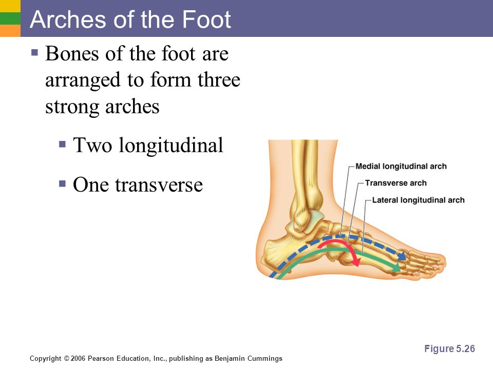 Arches of the Foot Bones of the foot are arranged to form three strong arches. Two longitudinal. One transverse.