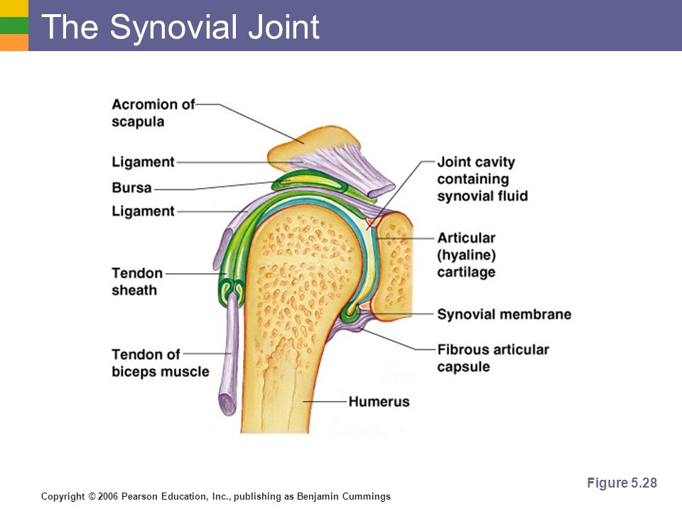 The Synovial Joint Figure 5.28