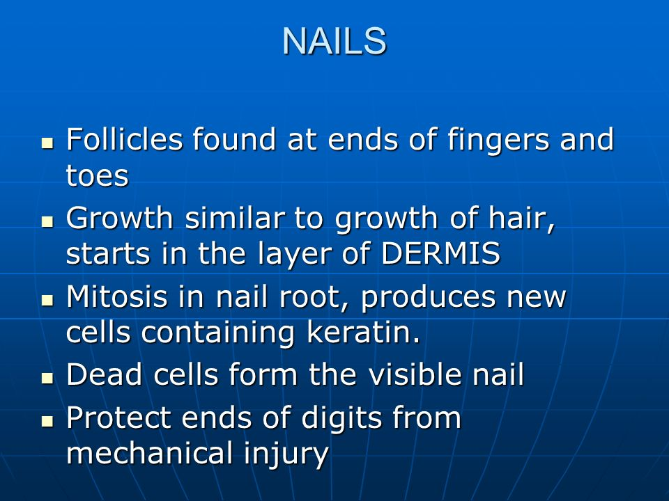 NAILS Follicles found at ends of fingers and toes