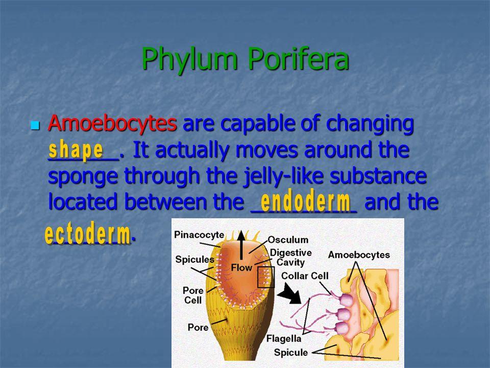 Phylum Porifera
