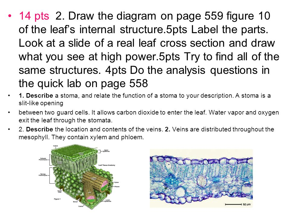 14 pts 2. Draw the diagram on page 559 figure 10 of the leaf's internal structure.5pts Label the parts. Look at a slide of a real leaf cross section and draw what you see at high power.5pts Try to find all of the same structures. 4pts Do the analysis questions in the quick lab on page 558