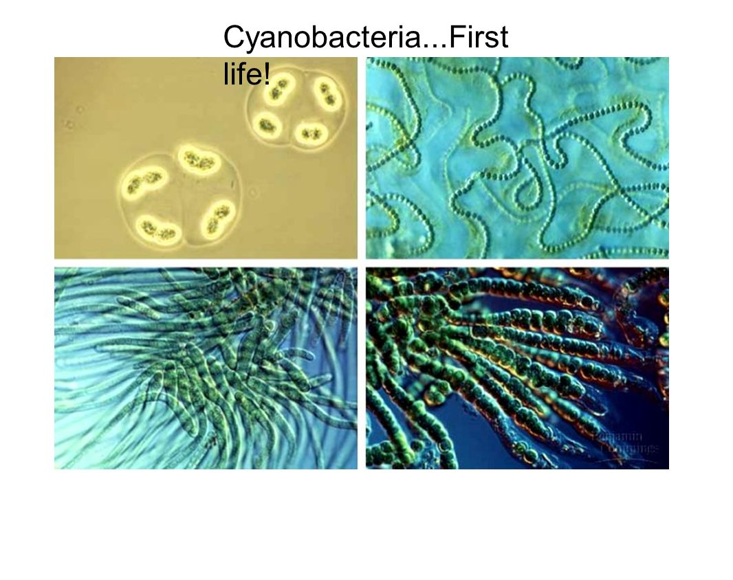 Cyanobacteria...First life!