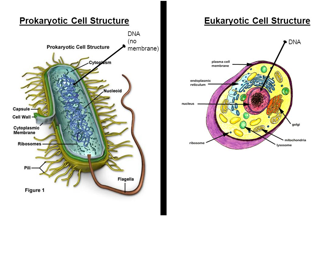 Prokaryotic Cell Structure Eukaryotic Cell Structure