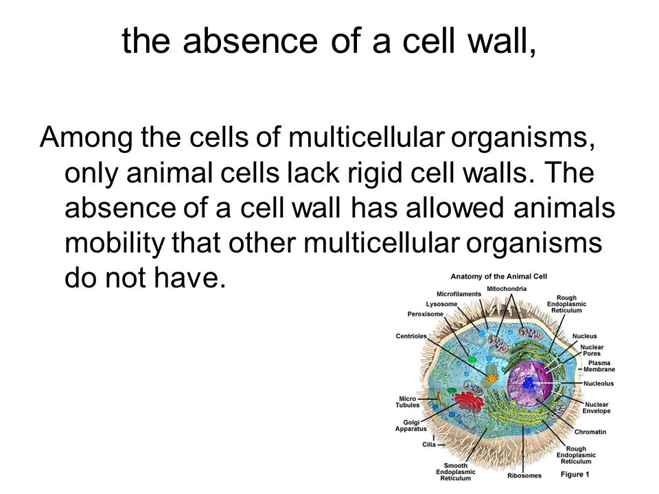 the absence of a cell wall,