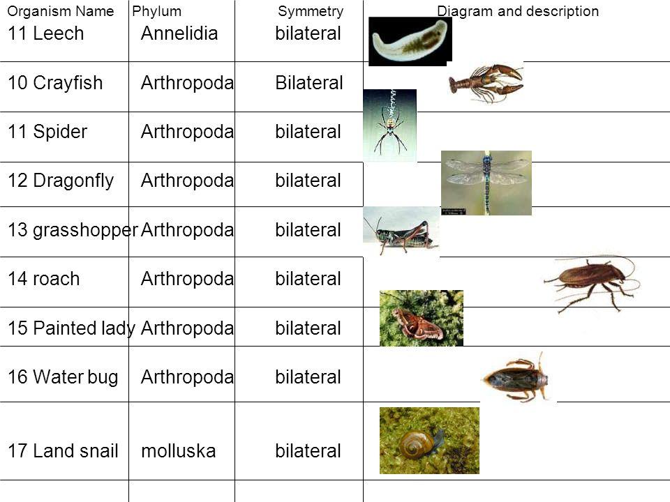 11 Leech Annelidia bilateral 10 Crayfish Arthropoda Bilateral