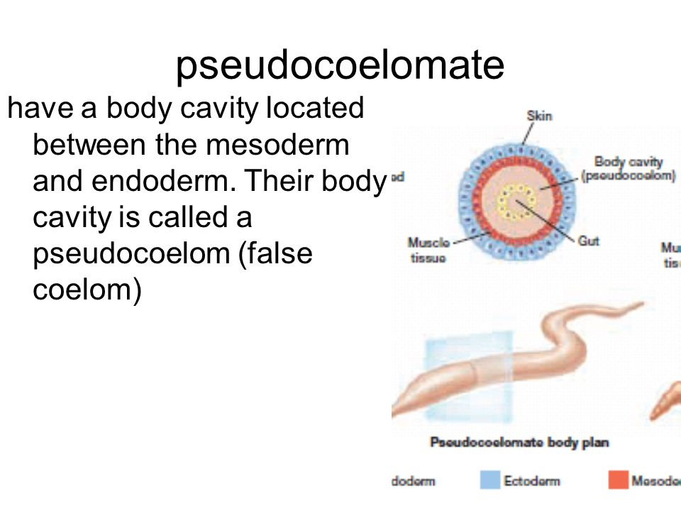pseudocoelomate have a body cavity located between the mesoderm and endoderm.