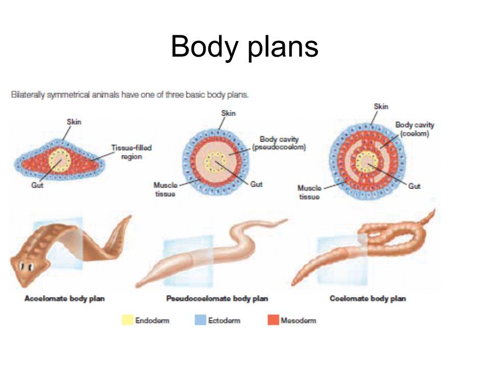 Body plans