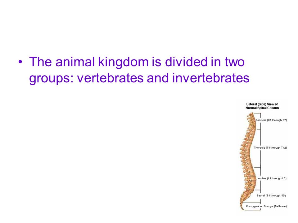 The animal kingdom is divided in two groups: vertebrates and invertebrates