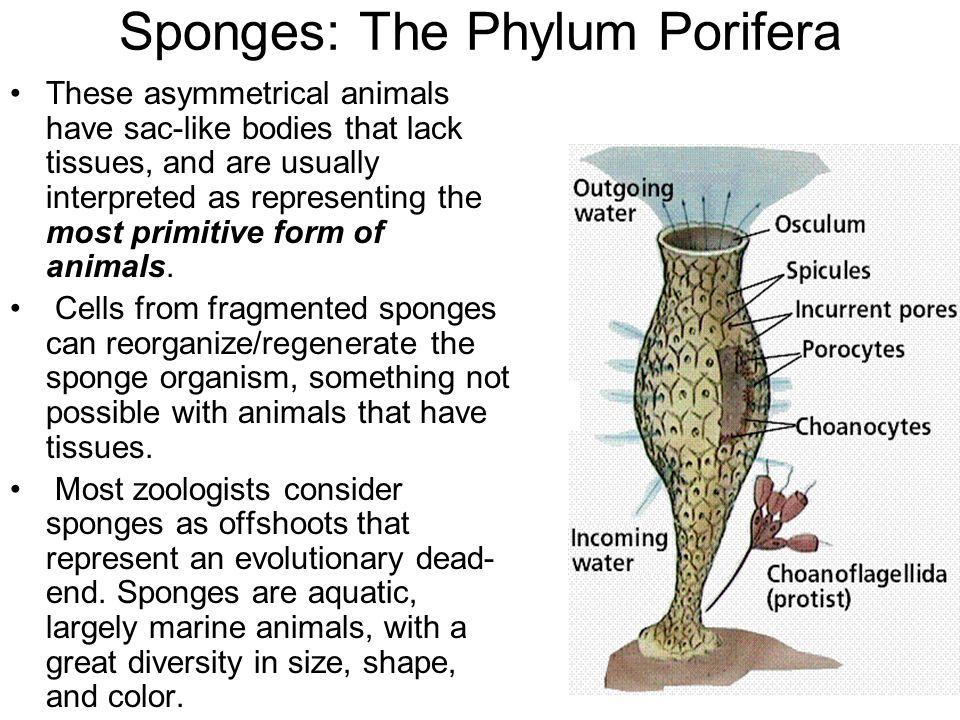 Sponges: The Phylum Porifera