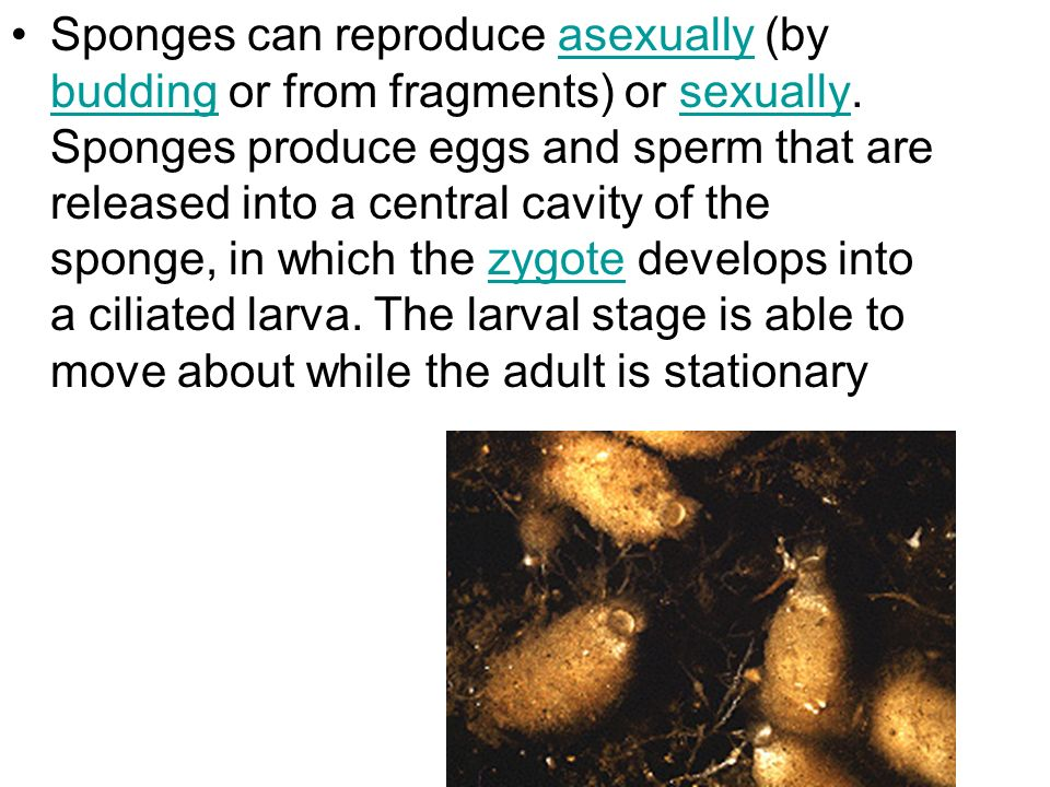 Sponges can reproduce asexually (by budding or from fragments) or sexually.