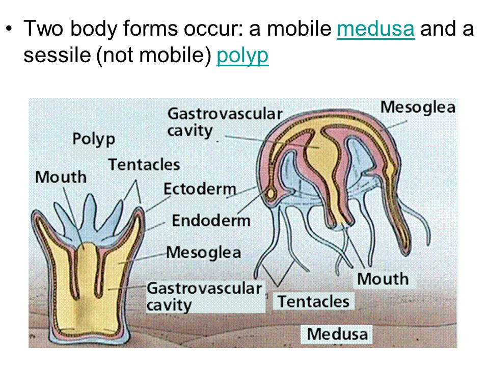 Two body forms occur: a mobile medusa and a sessile (not mobile) polyp