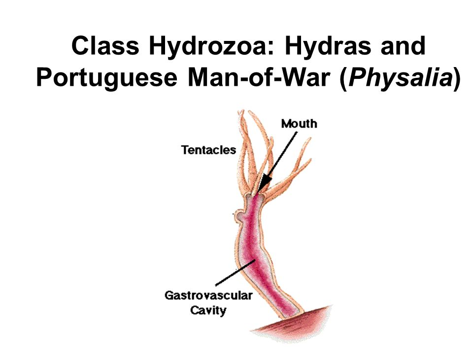 Class Hydrozoa: Hydras and Portuguese Man-of-War (Physalia)