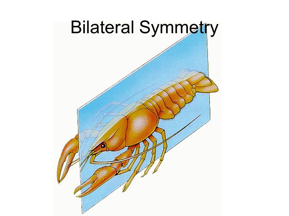 Bilateral Symmetry