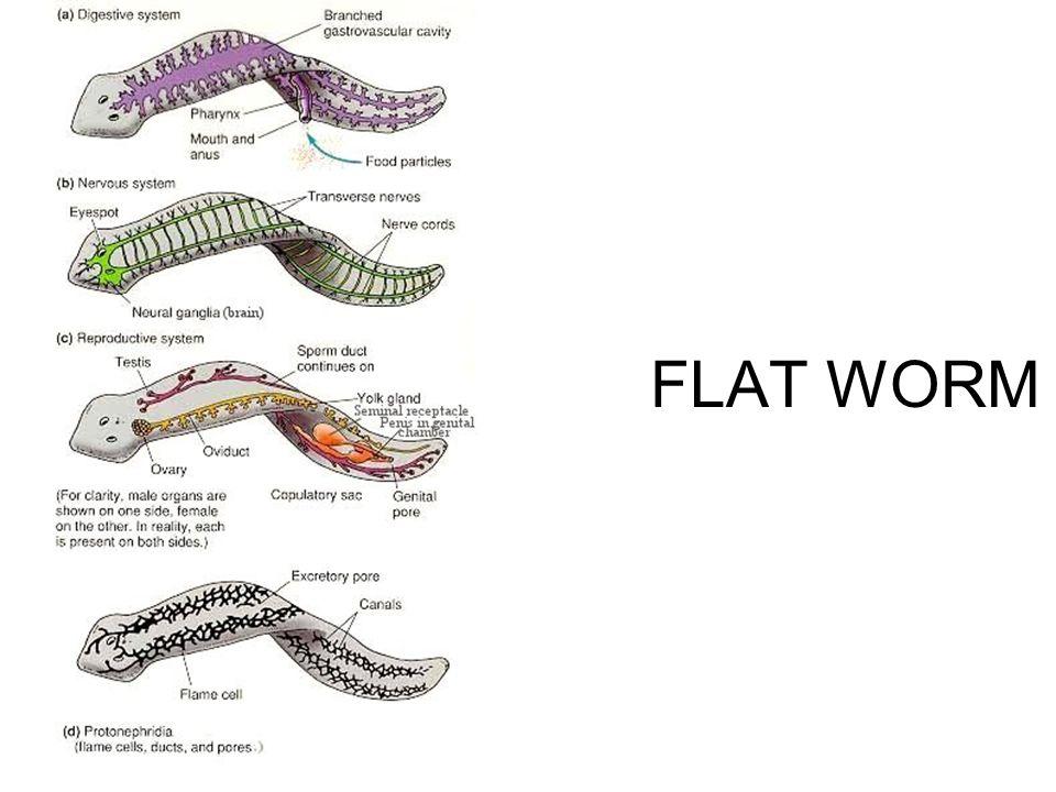 FLAT WORM