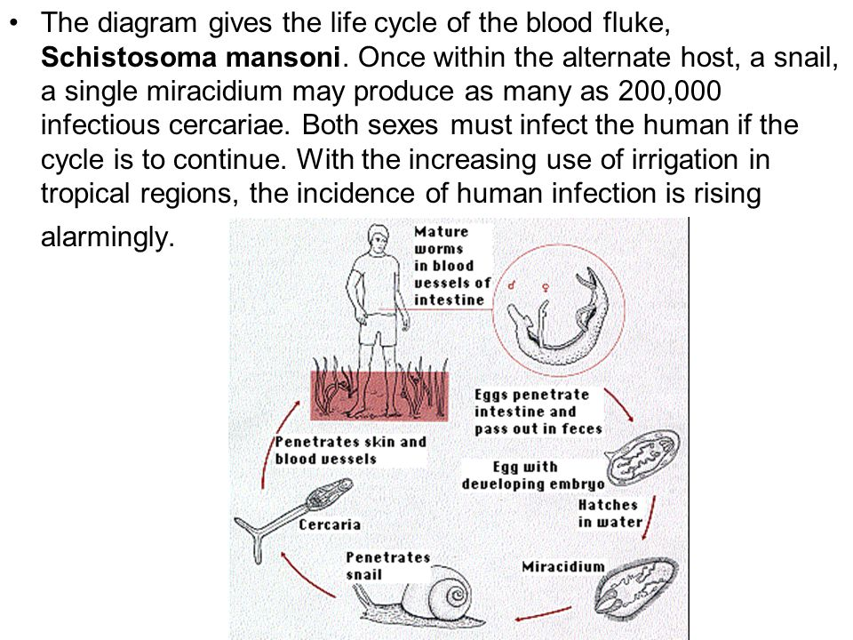 The diagram gives the life cycle of the blood fluke, Schistosoma mansoni.
