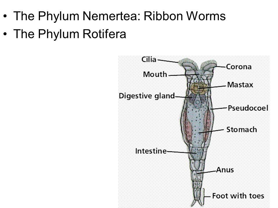 The Phylum Nemertea: Ribbon Worms