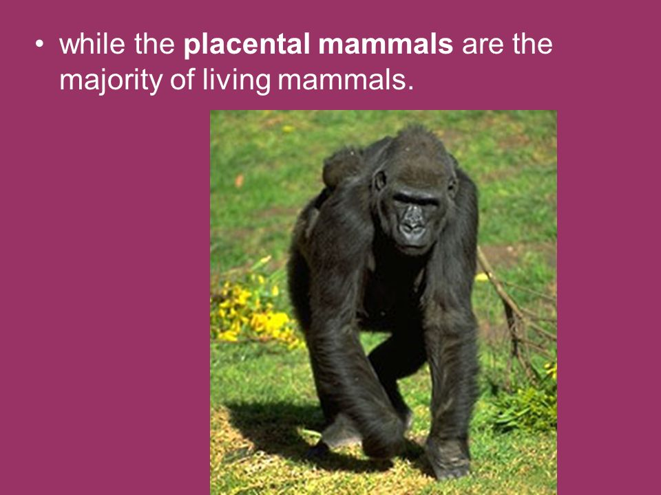 while the placental mammals are the majority of living mammals.