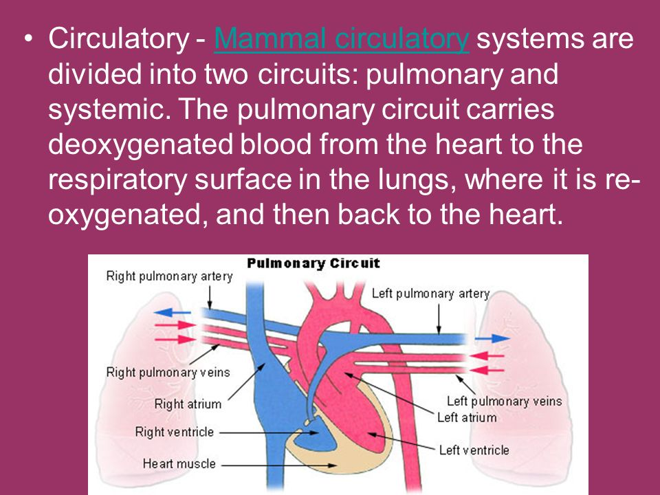Circulatory - Mammal circulatory systems are divided into two circuits: pulmonary and systemic.