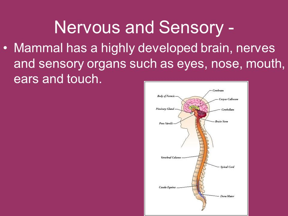 Nervous and Sensory - Mammal has a highly developed brain, nerves and sensory organs such as eyes, nose, mouth, ears and touch.