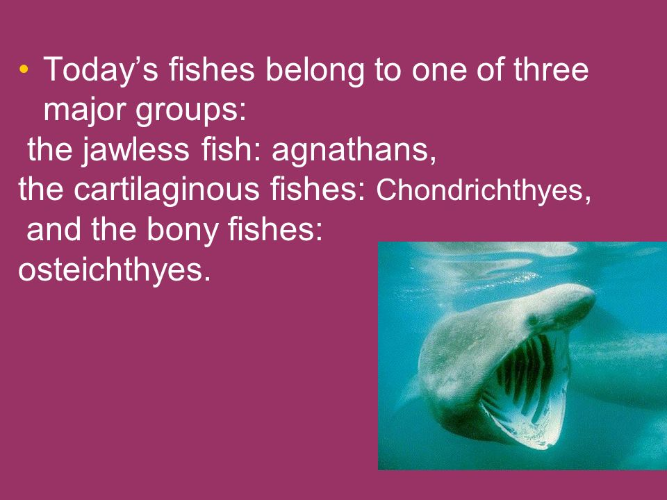 Today's fishes belong to one of three major groups: