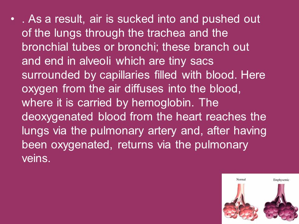 As a result, air is sucked into and pushed out of the lungs through the trachea and the bronchial tubes or bronchi; these branch out and end in alveoli which are tiny sacs surrounded by capillaries filled with blood.
