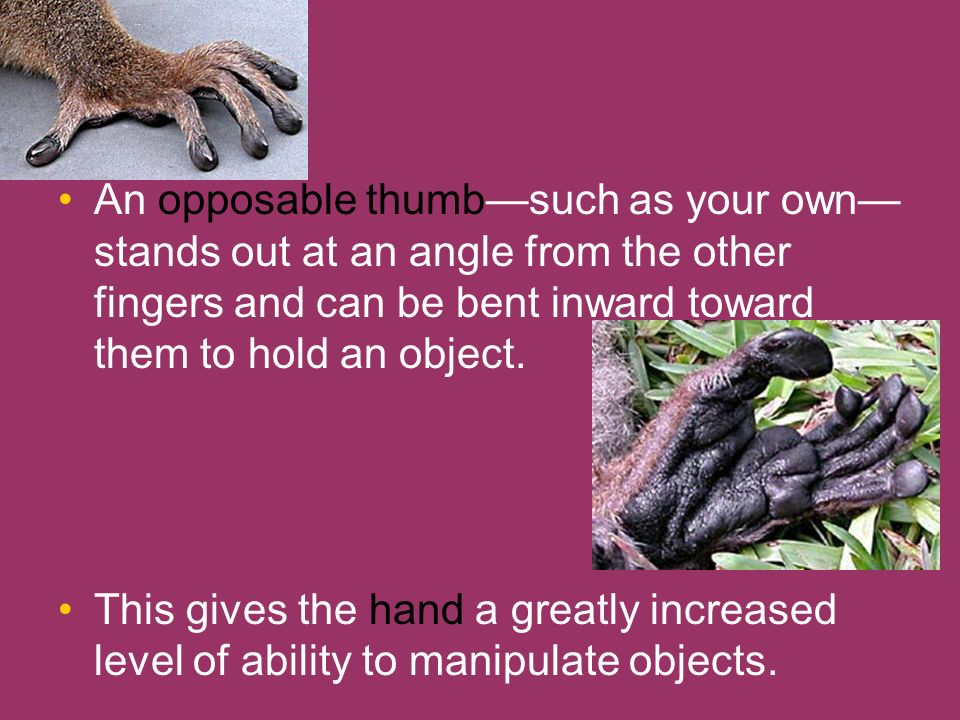 An opposable thumb—such as your own—stands out at an angle from the other fingers and can be bent inward toward them to hold an object.