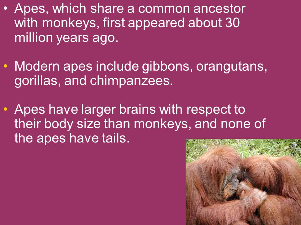 Apes, which share a common ancestor with monkeys, first appeared about 30 million years ago.
