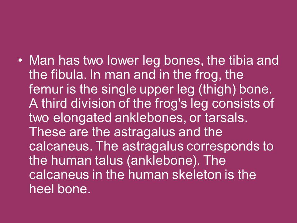 Man has two lower leg bones, the tibia and the fibula