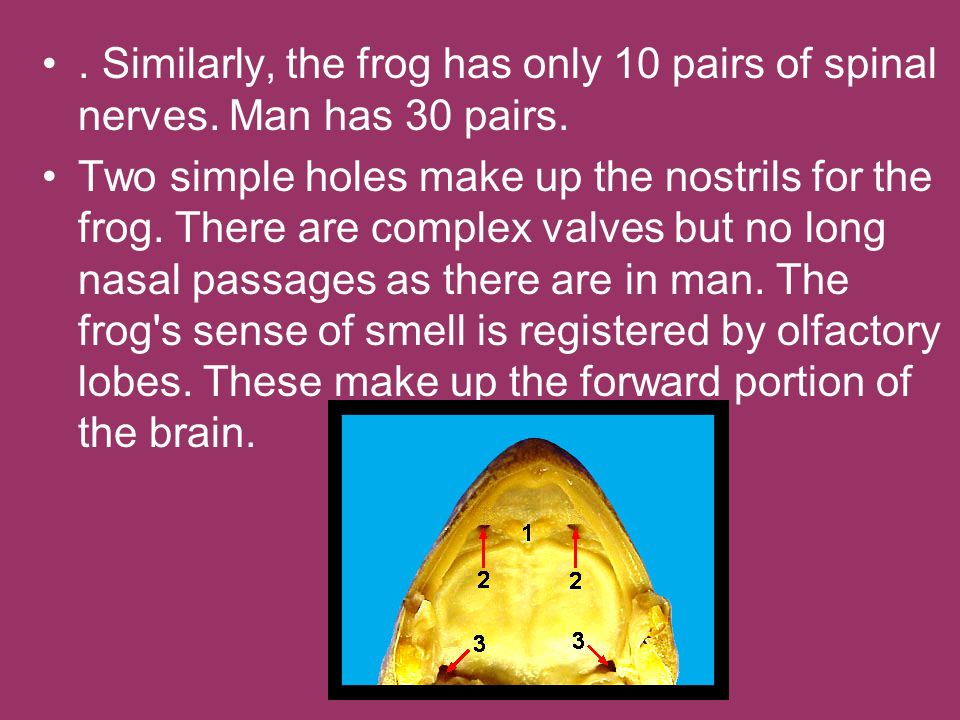 Similarly, the frog has only 10 pairs of spinal nerves