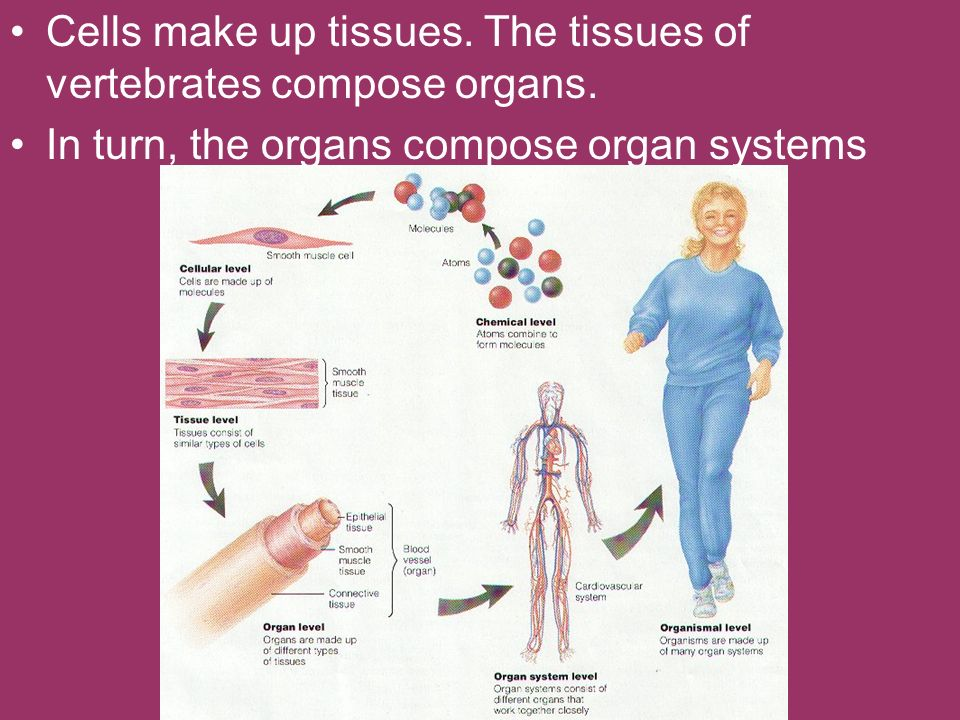 Cells make up tissues. The tissues of vertebrates compose organs.