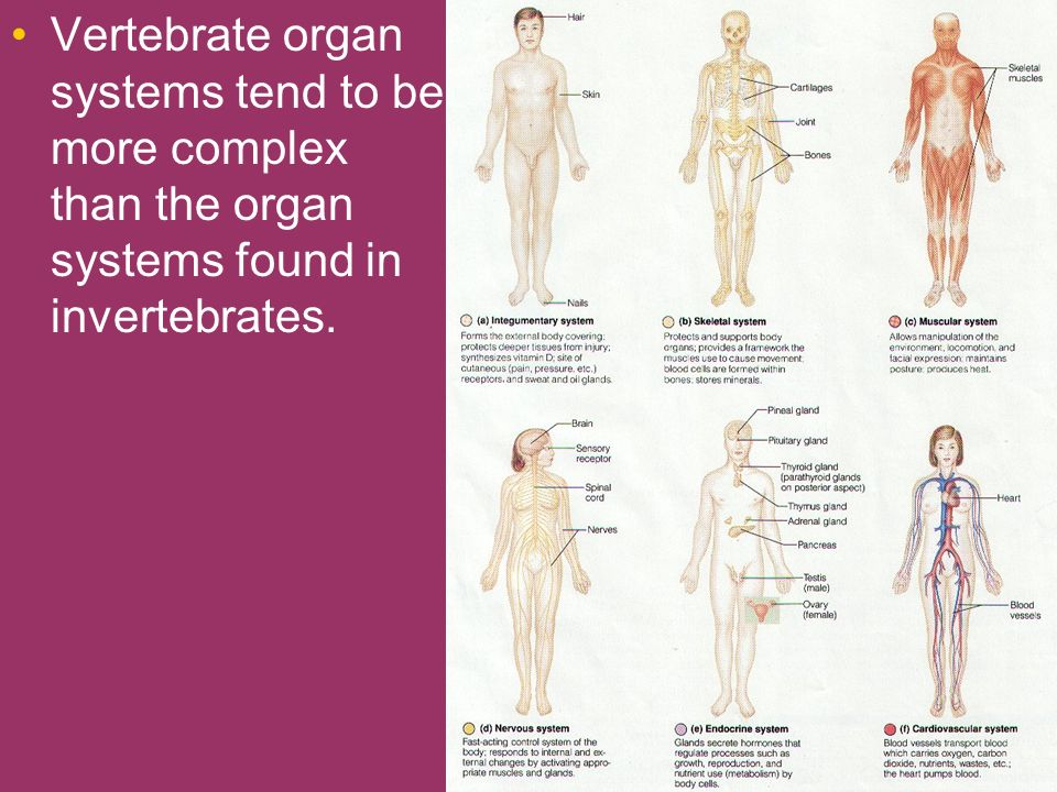 Vertebrate organ systems tend to be more complex than the organ systems found in invertebrates.