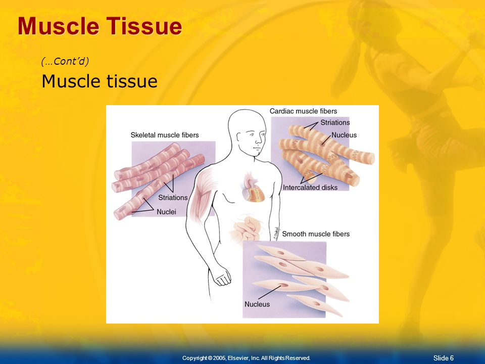 Muscle Tissue (…Cont'd) Muscle tissue