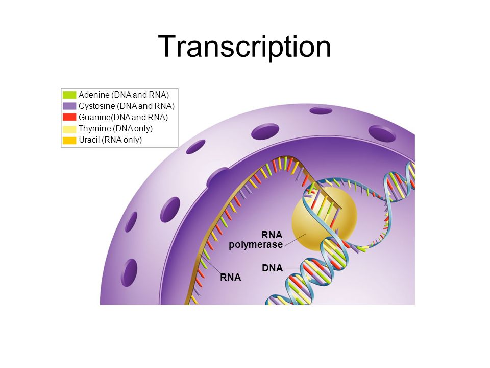 Transcription Section 12-3 RNA polymerase DNA RNA