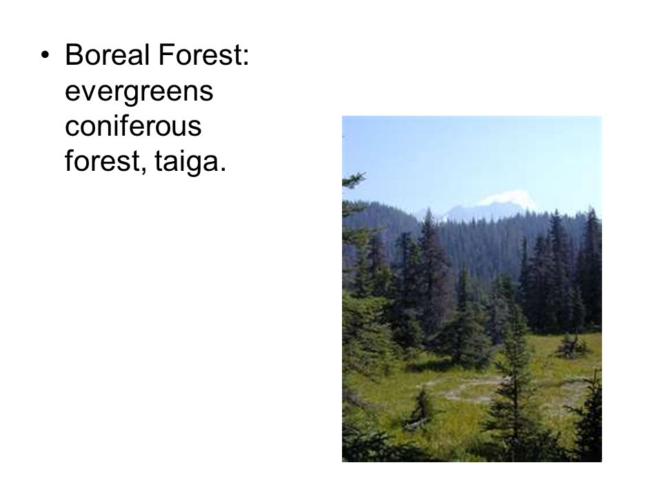 Boreal Forest: evergreens coniferous forest, taiga.