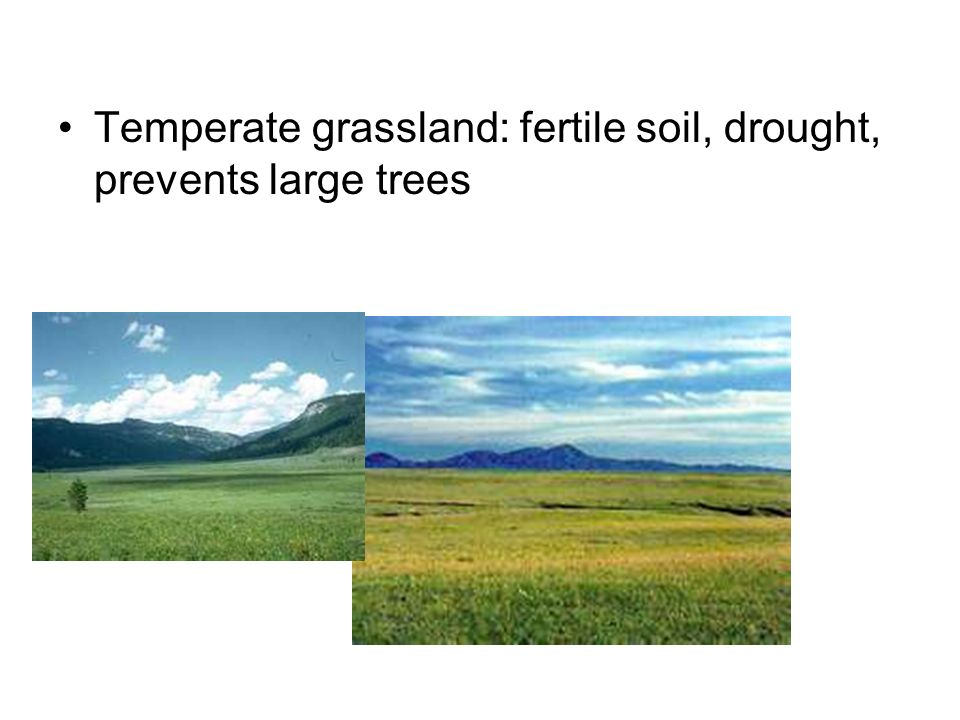 Temperate grassland: fertile soil, drought, prevents large trees