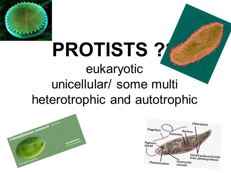 PROTISTS eukaryotic unicellular/ some multi heterotrophic and autotrophic