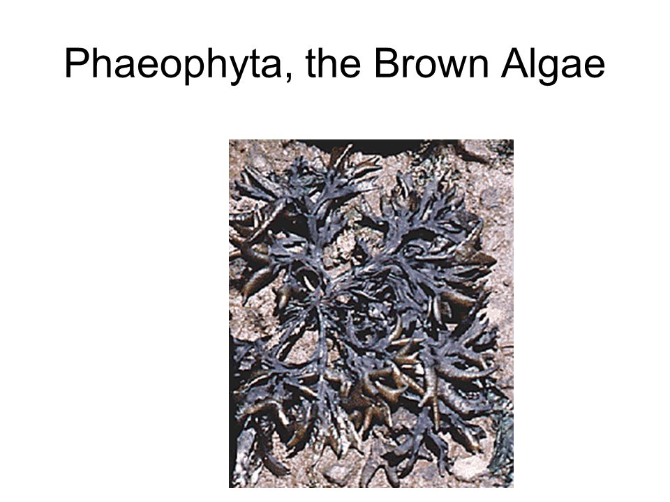 Phaeophyta, the Brown Algae